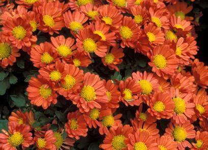 fiori da giardino autunnali il giardino in fioriera 20 i fiori in vaso per l autunno