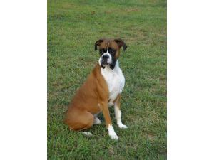 boxer puppies for sale in sc boxer puppies for sale