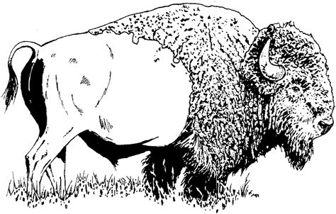 Free Buffalo And Bison Coloring Pages Bison Coloring Page