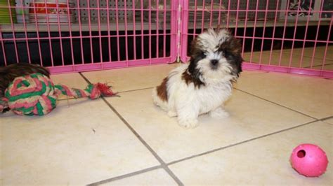 maltese puppies for sale in augusta ga adorable malti tzu puppies for sale in atlanta ga mix of maltese and shih tzu