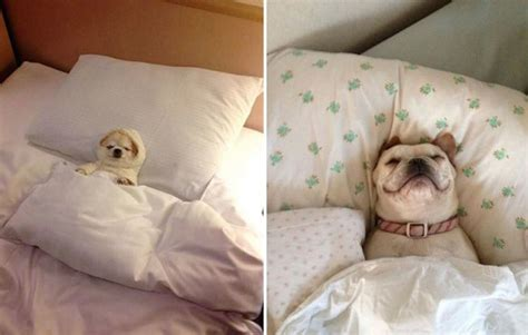 dog sleeping on bed 22 tired dogs that are definitely not letting you sleep in