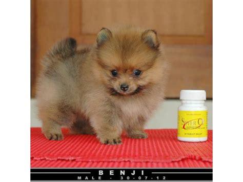 Jual Pom Pom miniature teddy pomeranian jual mini mini