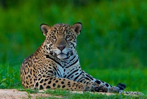 imagenes de un jaguar jaguar wiki colombia fandom powered by wikia