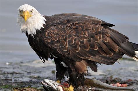 wildearth minnesota bound eagle nest