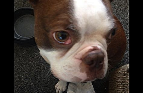 cherry eye in puppies cherry eye in dogs boston terrier rescue canada