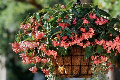 begonias dichondra spectacular container gardening