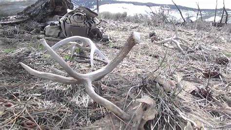 When Is Shed Season by 2016 California Mule Deer Shed Brandon Pitcher