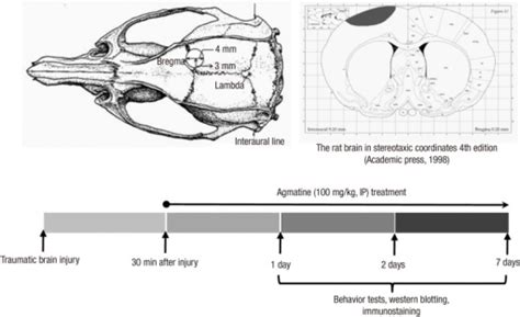 rat motor cortex dorsal and coronal views of the rat skull and experimen