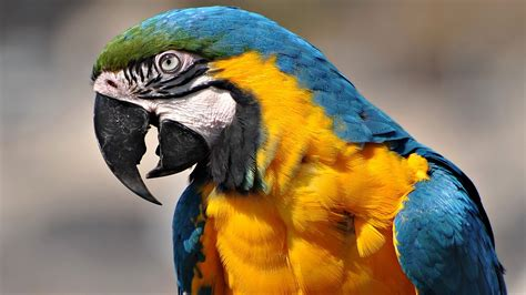 macaw parrot hd wallpapers high definition free background