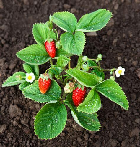 erdbeeren im garten 187 optimal pflegen 252 berwintern