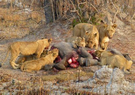 imagenes de leones cazando image gallery leones cazando elefantes