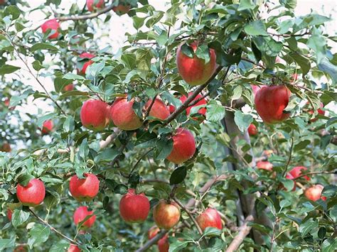 how for an apple tree to produce fruit apples on tree apple tree photos 10 wallcoo net