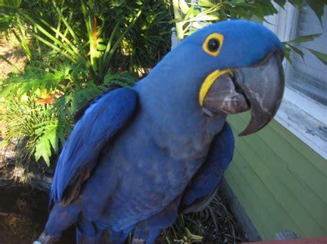 beautiful blue hyacinth macaw melbournebeach florida