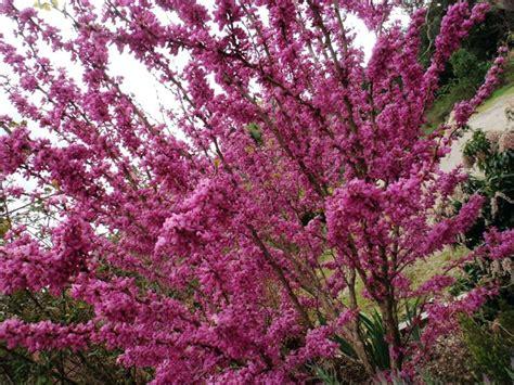 alberi con fiori albero con fiori rosa un albero in fiore in primavera con