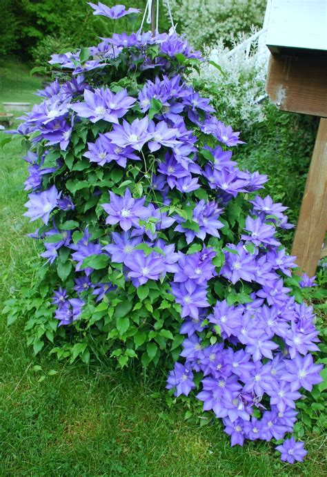 clematis climbing plant clematis climbing vines