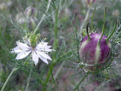 love   mist mixed colors nigella   southern