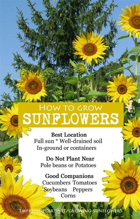 Sunflower Garden Ideas The 25 Best Growing Sunflowers Ideas On Pinterest Planting Sunflowers Sunflower Garden And