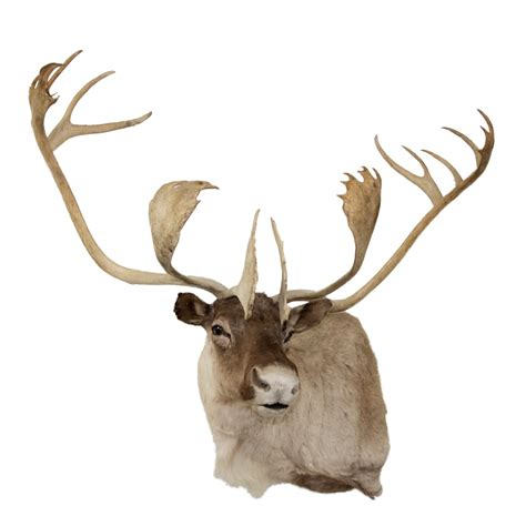 caribou taxidermy mounts for sale and taxidermy trophies