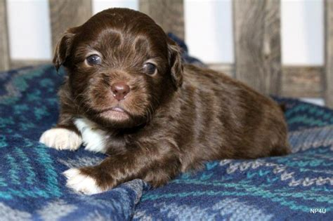 pug puppies for sale tulsa ok puppies for sale puggle yorkie goldendoodle labradoodle standard poodle pug shorkie