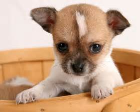 Cute puppy dogs brown chihuahua puppies