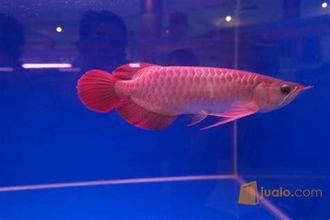 Harga Bibit Ikan Koi Import jual ikan arwana 16077537 harga bibit ikan