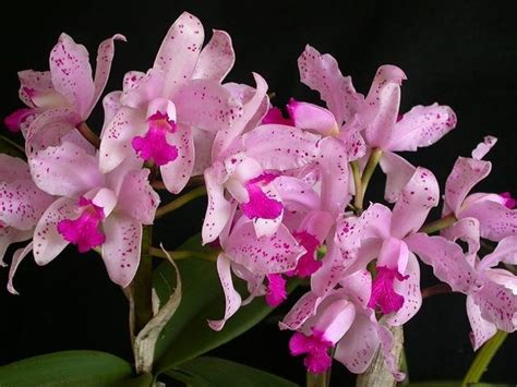 orchidea fiore cura orchidea cura orchidee orchidea cura pianta