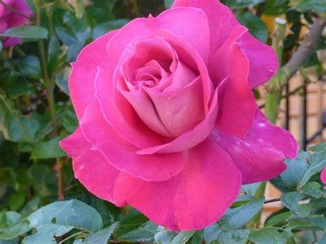 Imagenes Bonitas De Rosas De Cumpleaños | fotos de de entre las rosas os traigo las mas hermosas