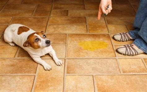 why dogs urinate in the house dogsbreedscenter com best dog breeds pictures information and reviews