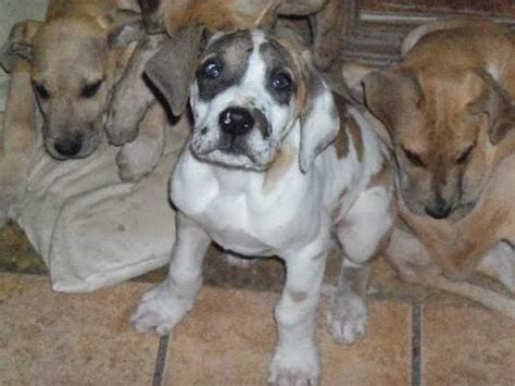 puppies for sale in tupelo ms great dane puppies dogs for sale in jackson mississippi ms 19breeders