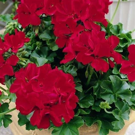 fiore geranio geranio edera geranio geranio edera giardino