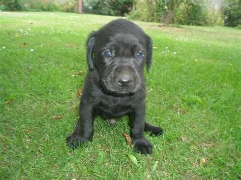 black puppies for sale black labrador puppies for sale faversham kent pets4homes