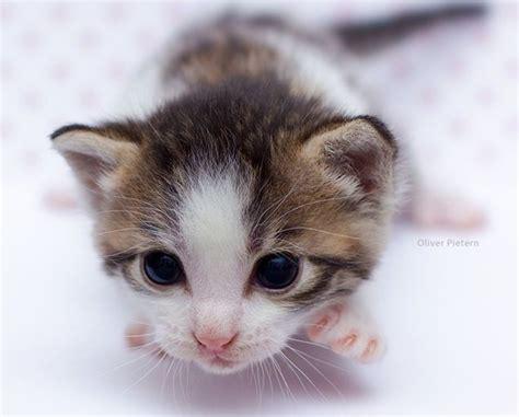 newborn kittens en iyi 17 fikir newborn kittens pinterest te yavru