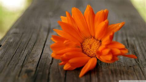 beautiful orange orange flowers wallpaper 255319