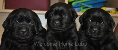yellow lab puppies mn 17 of 2017 s best labrador puppies for sale ideas on labrador pups for