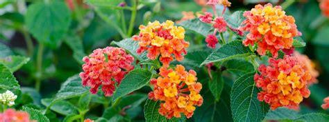 piante da fiore estive piccole piante da fiore resistenti al caldo cose di casa