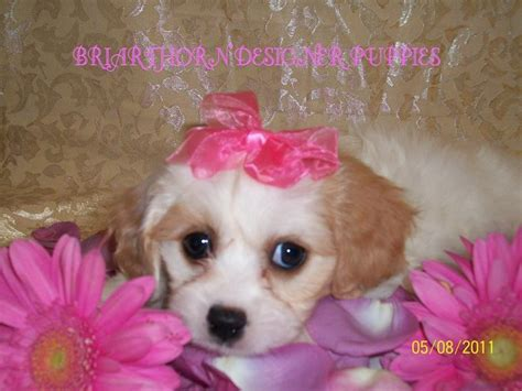 cavachon puppies ohio cavachons cavachon breeders briarthorn cavachon puppies