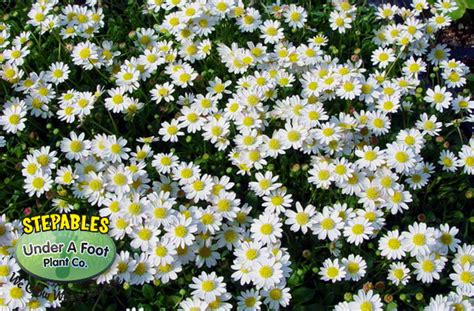 STEPABLES.COM   Plants that tolerate foot traffic