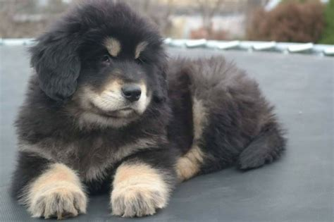 tibetan mastiff puppy for sale tibetan mastiff for sale no name breeds picture