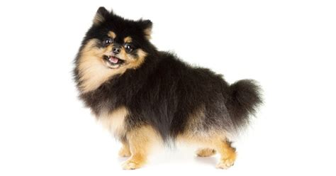 solid black pomeranian is the black pomeranian a mixed breed breeds petpremium