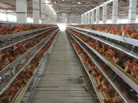 Bibit Ternak Ayam Petelur beternak ayam petelur sukses tahapan peternakan ayam petelur