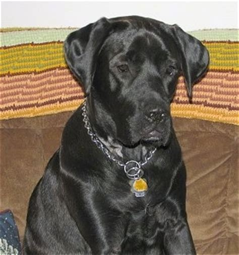 lab mastiff mix puppies for sale mastador labrador retriever mastador breeds picture