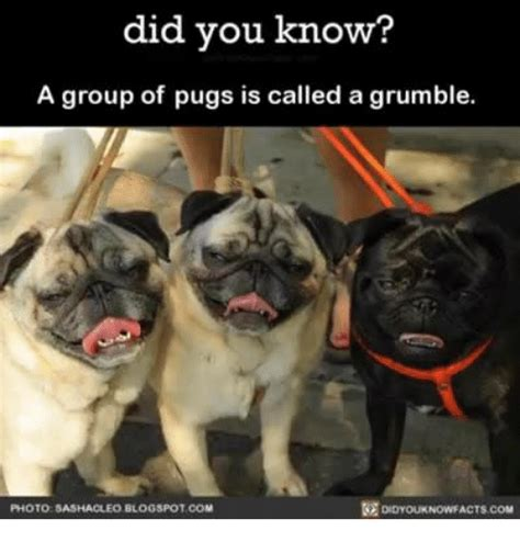 what is a of pugs called pugs memes of 2017 on sizzle pugged