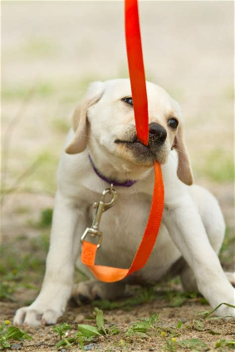 when to start leash a puppy leash agoranos