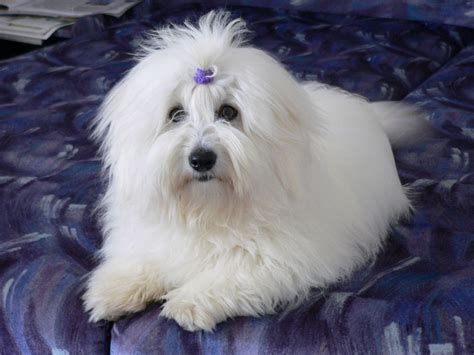 coton de tulear puppy lying coton de tulear photo and wallpaper beautiful lying coton de tulear