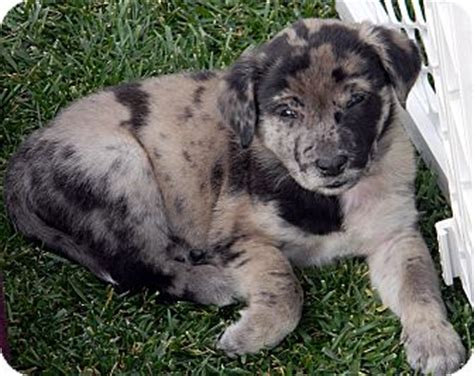 catahoula lab mix puppies for sale catahoula leopard hound lab mix breeds picture