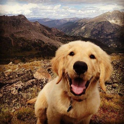 golden retriever rescue in michigan great lakes golden retriever rescue michigan dogs in our photo