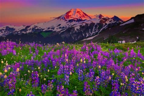 Bunga Morning Blue Wildflower mountain wildflowers mountains nature background
