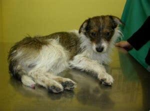 vasculitis in dogs cutaneous vasculitis