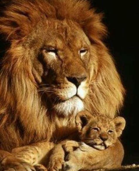 imagenes de leones tiernas father and son i love precious animals pinterest