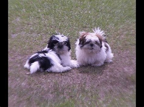 shih tzu puppies for sale richmond va poodle puppies dogs for sale in norfolk county virginia va 19breeders